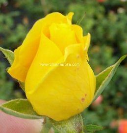 Sárga virágágyi ágyás rózsa - Rosa Golden Delight - Konténeres rózsa