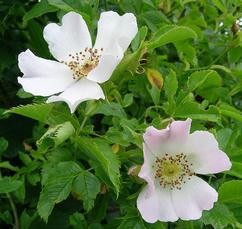 Gyepűrózsa Rosa canina, Vadrózsa