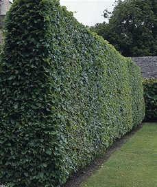 Sövény Gyertyán sövény - Carpinus betulus