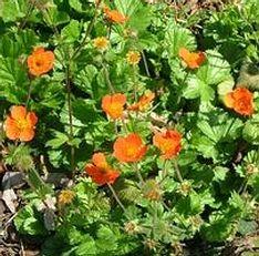 Skarlátvörös gyömbérgyökér Geum coccineum Borisii évelő virág