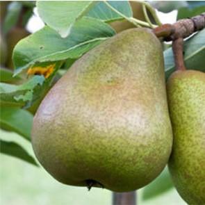 Hardy vajkörte körte gyümölcsfa