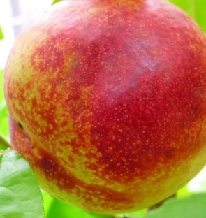 Harko nektarin őszibarack