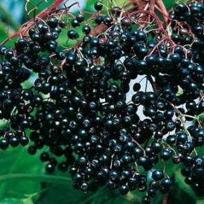 Haschberg bodza - Sambucus nigra Haschberg - Bogyós gyümölcs