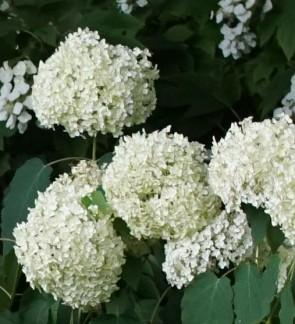 Cserjés hortenzia - Hydrangea arborescens Annabelle - Virágos cserje