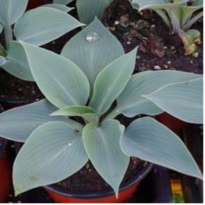 Árnyéki évelők Hosta Halcion – Kék levelű árnyékliliom