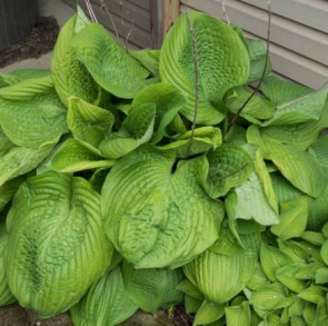 Hosta Sum and Substance, Fotó: F. D. Richards, Flickr
