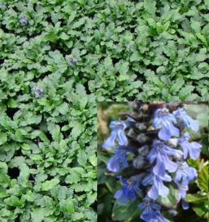 Indás ínfű liláskék virágú, Ajuga reptans Mid Blue