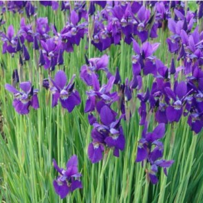 Szibériai nőszirom - Iris sibirica Caesar's Brother