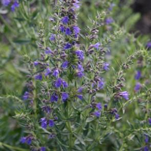 Fűszernövények Kerti izsóp fűszer és gyógynövény virága - Hyssopus