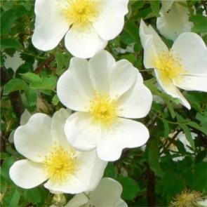 Jajrózsa - Rosa pimpinellifolia
