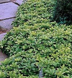 Örökzöld növények Japán kövérke a kerti út mentén Forrás: www.greenwoodnursery.com