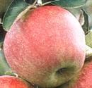 Jonagold alma - Gyümölcsfák