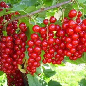 Jonkheer van tets piros ribizli gyümölcs