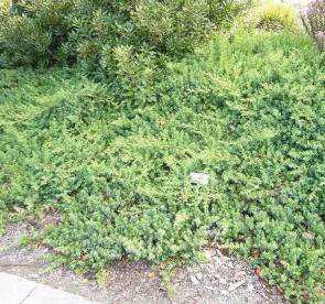 Föveny boróka - Juniperus conferta