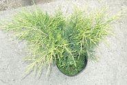 Sárga terülő boróka - Juniperus Old Gold - Talajtakaró fenyő