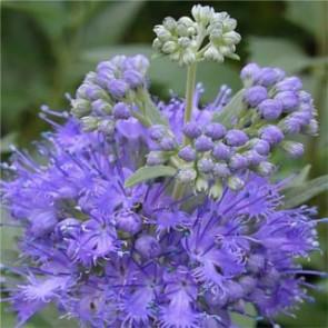 Kékszakáll - Caryopteris clandonensis Kew Blue