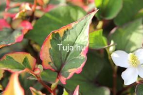 Tavi növények Kaméleonvirág levele - Houttoynia Chamaleon