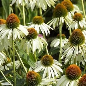Magas évelők Kasvirág fehér Echinacea