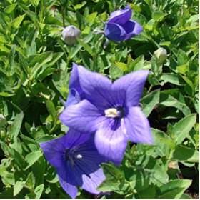 Kék léggömbvirág sziklakerti évelő - Platycodon Astra Blue