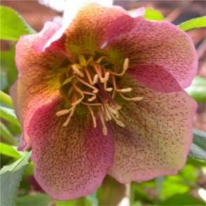 Keleti hunyor Helleborus orientalis évelő virág, tavaszi virág