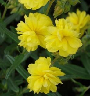 Kénsárga virágú napvirág Sulphureum Plenum (Gelbe Perle)