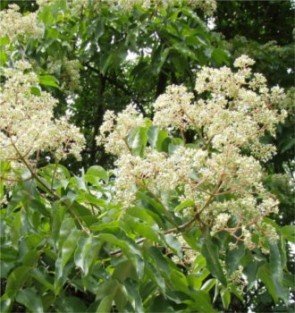 Kínai mézesfa - Euodia hupehensis