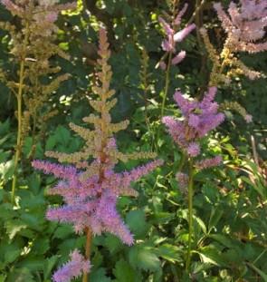 Kínai tollbuga - Astilbe chinensis Pumila talajtakaró alacsony nyár végén virágzó évelő
