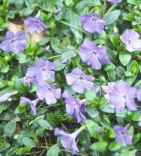 Örökzöld növények Kis meténg örökzöld levelű meténg - Vinca minor, talajtakaró