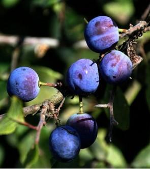 Kökén - Prunus spinosa - Vadgyümölcs - Sövény