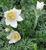 Sziklakerti évelők Kökörcsin fehér virágok - Pulsatilla vulgaris Alba