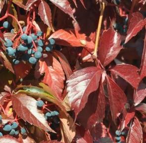 Közönséges vadszőlő - Parthenocissus inserta kúszónövény