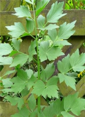 Lestyán Levisticum officinale cserepes fűszernövény