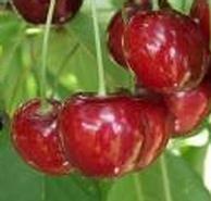 Linda cseresznye - cseresznyefa oltványok