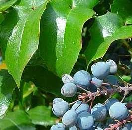 Örökzöld növények Mahónia - Mahonia aquifolium