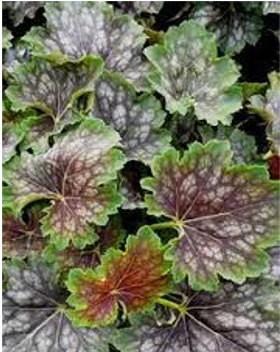 Márványozott levelű tűzeső - Heuchera americana Marveolus Marbl