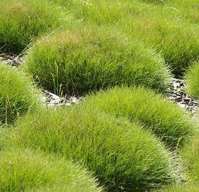 Díszfüvek Medvecsenksze örökzöld zöld levelű díszfű - Festuca scoparia