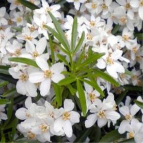 Örökzöld cserjék Mexikói narancsvirág - Choisya Aztec Pearl