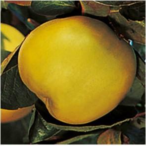 Mezőtúri birs gyümölcsfa
