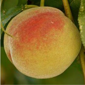 Michelini késői őszibarack gyümölcsfa