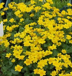 Mocsári gólyahír Caltha palustris cserepes évelőágyi és tavi növény