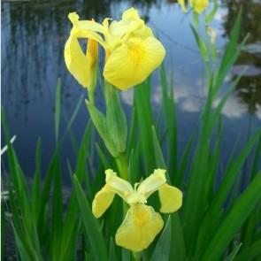 Tavi növények Mocsári nőszirom, Sárga írisz - Iris pseudoacorus