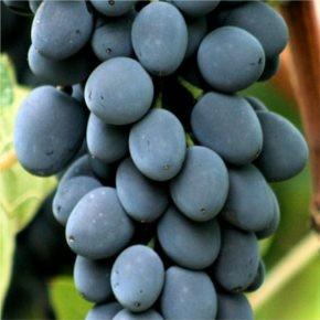Moldova csemegeszőlő - Szőlő oltványok