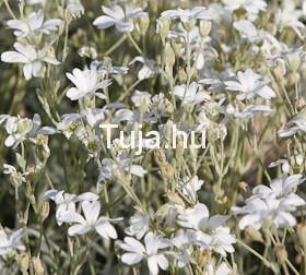 Molyhos madárhúr - Cerastium tomentosum