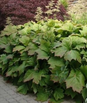 Nagytermetű tópartifű - Rodgersia aesculifolia