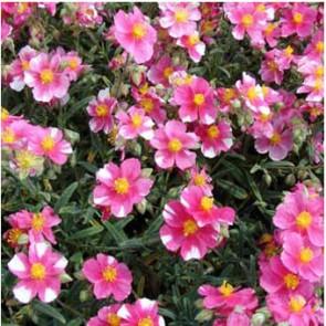 Napvirág málnaszín - fehér foltos virágú - Helianthemum Raspberry Ripple