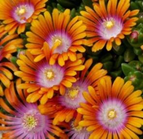 Narancsos rózsaszín kristyályvirág, délvirág - Delosperma Fire Spinner