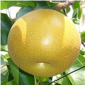 Nijisseiki japán körte oltvány - Körtefa - Gyümölcsfa