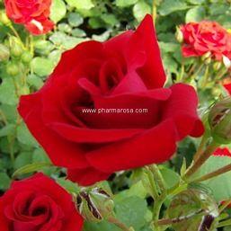 Piros virágágyi ágyás rózsa - Rosa Nina Weybull - Konténeres rózsa