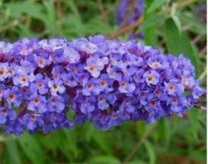 Törpe nyáriorgona - Buddleja davidii Nanho Blue