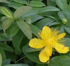 Bőrlevelű orbáncfű Hypericum calycinum
